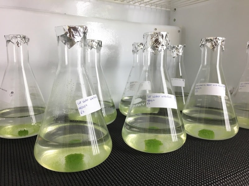 Samples of Nannochloris grow in the Environmental Engineering Laboratory at DRI. This species of green algae was found to be capable of removing certain types of endocrine disrupting chemicals from treated wastewater. Credit: Xuelian Bai/DRI.
